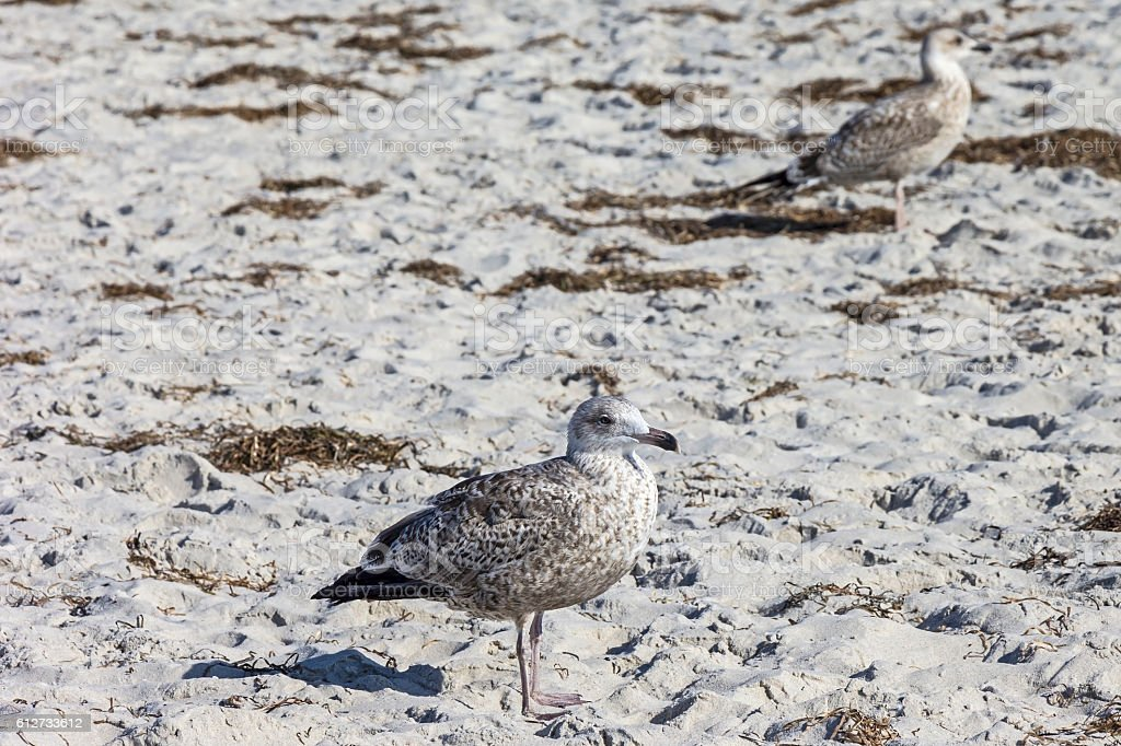 Young European herring gull at the Baltic Sea stock photo