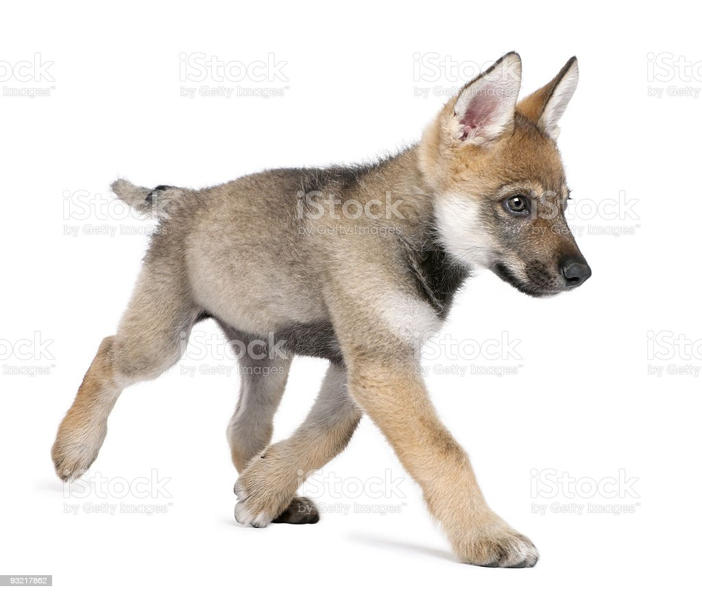 Young European wolf running stock photo