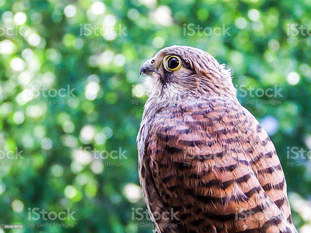 Young Falcon kestrel stock photo