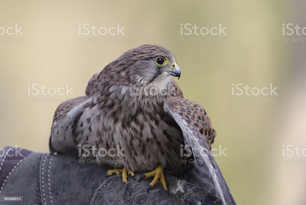 young falcon royalty-free stock photo