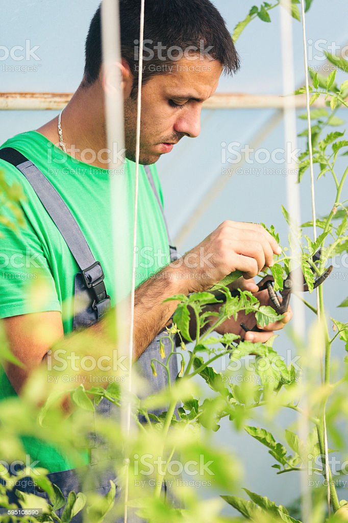 Young farmer cutting tomato leaves in green house stock photo
