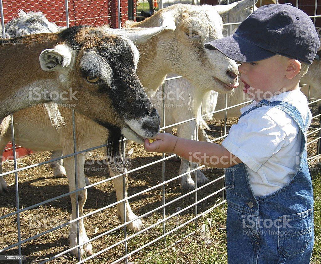 Young farmer feeding the goats stock photo