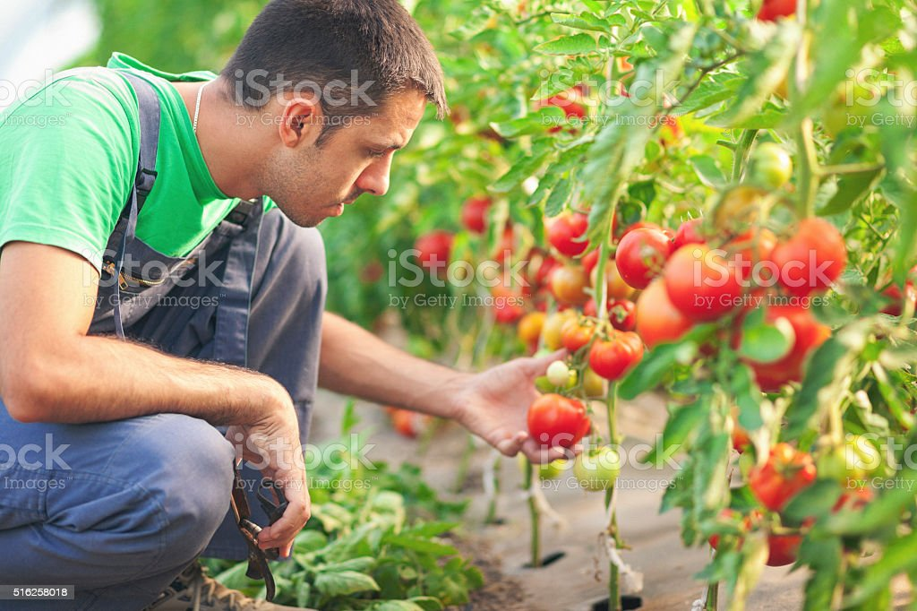 Young farmer in a green house with tomatoes stock photo
