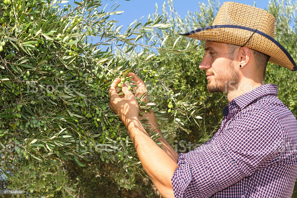 Young farmer inspecting the new olive crop stock photo