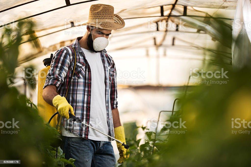 Young farmer spraying plants in polyethylene tunnel. stock photo
