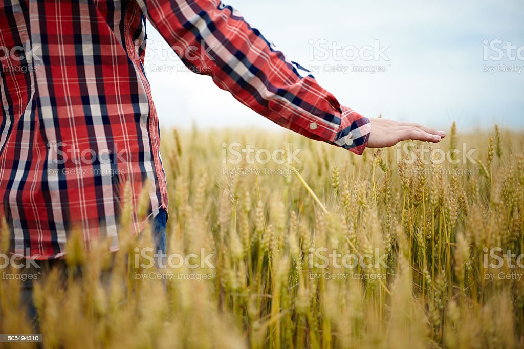 Young farmer's hand over wheat field stock photo