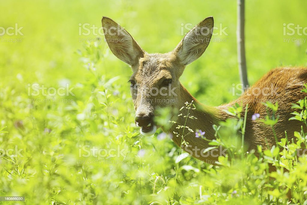 Young fawn in the wild royalty-free stock photo
