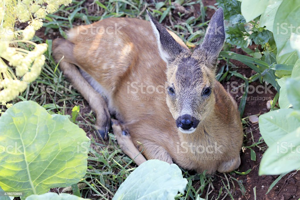 Young fawn lying on grass royalty-free stock photo