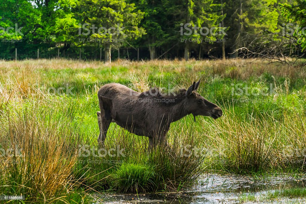 Young female moose stock photo
