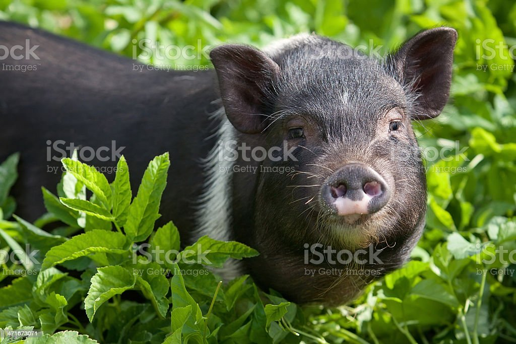 Young female pig royalty-free stock photo