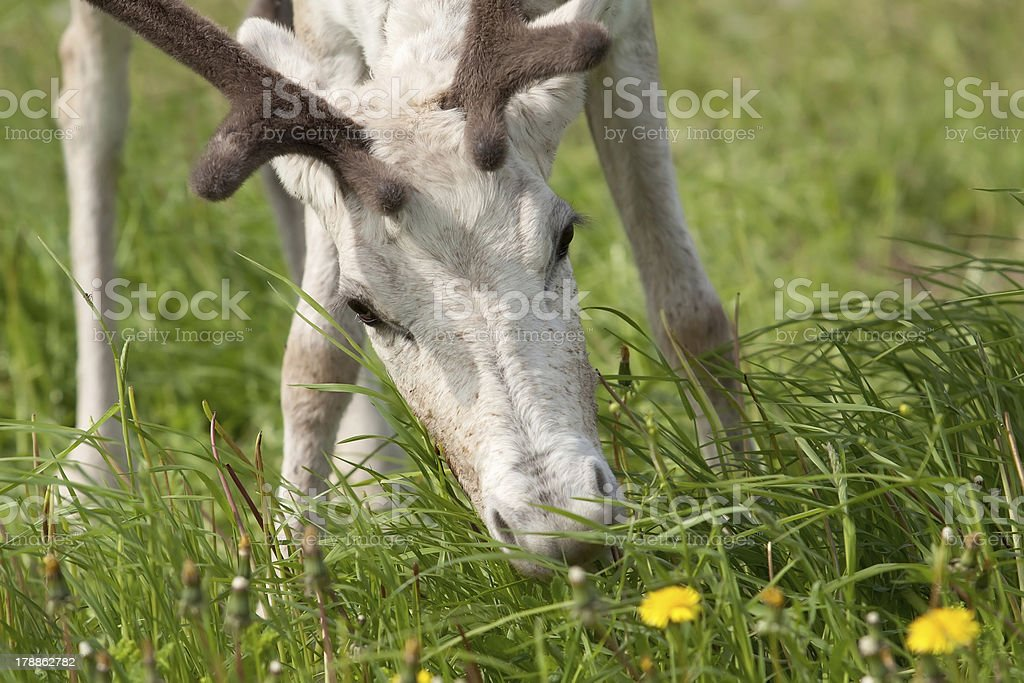 Young female reindeer royalty-free stock photo