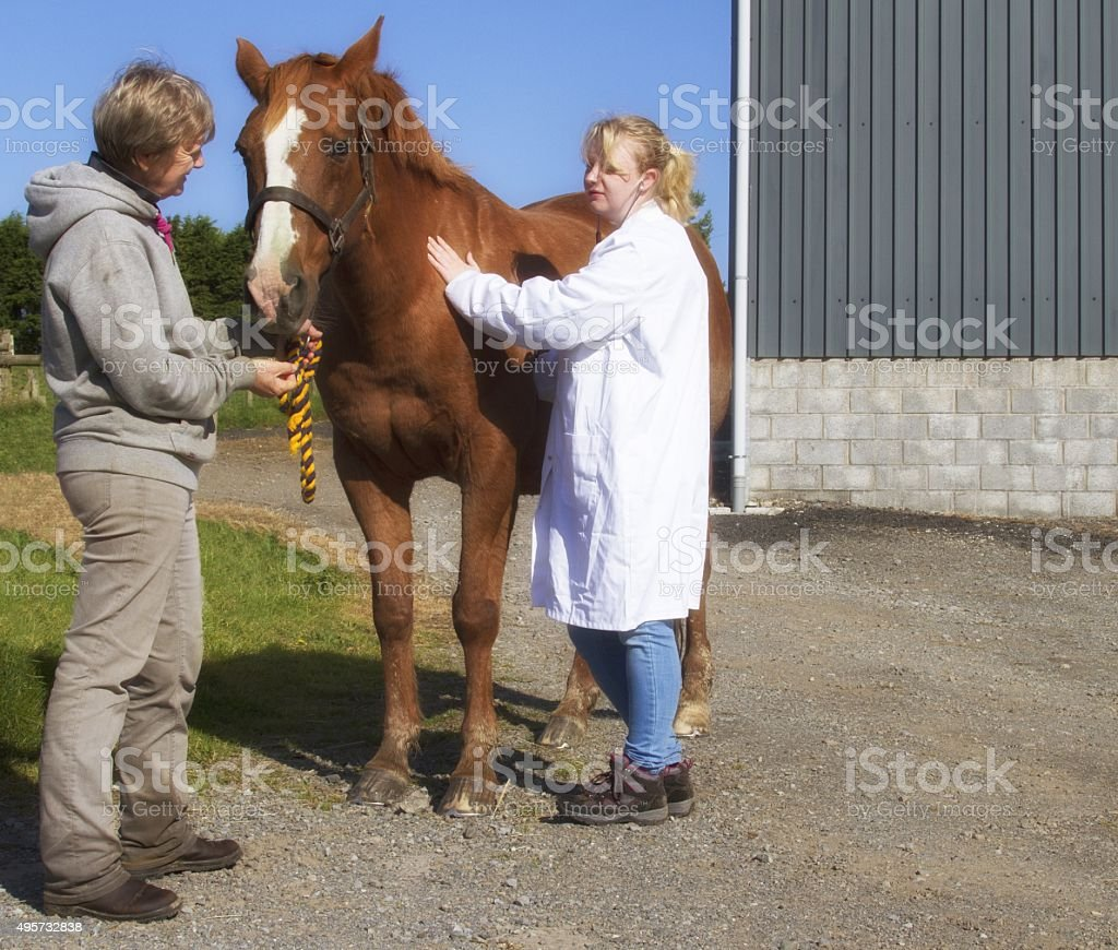 young female vet examining a horse. stock photo