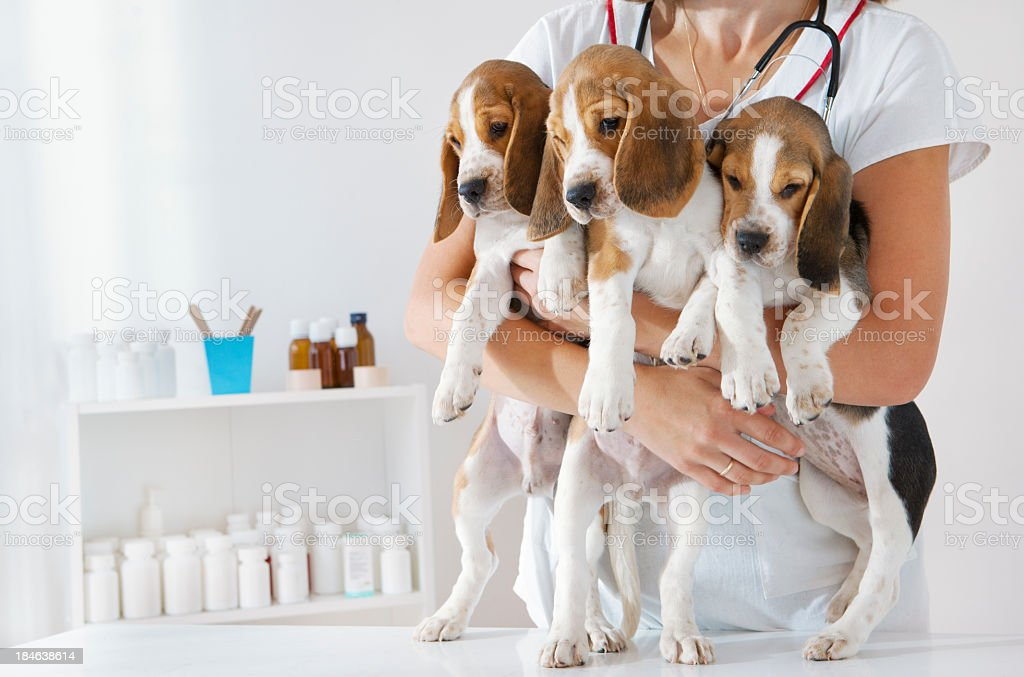 Young Female Veterinarian Holding Cute Little Puppies, Beagles royalty-free stock photo