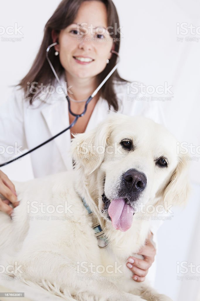 Young female veterinary caring of a beautiful dog royalty-free stock photo