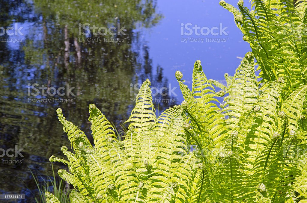 young fern group near lake royalty-free stock photo