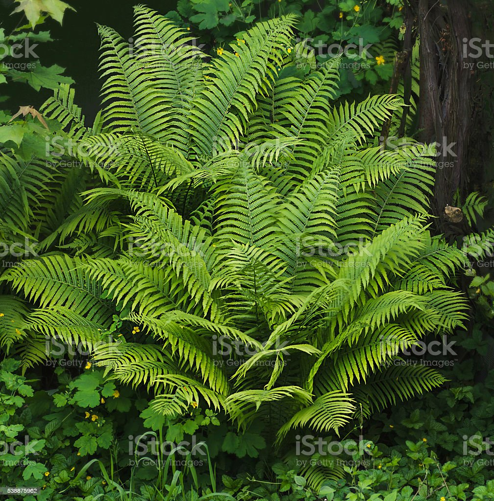 Young fern leaves  macro stock photo