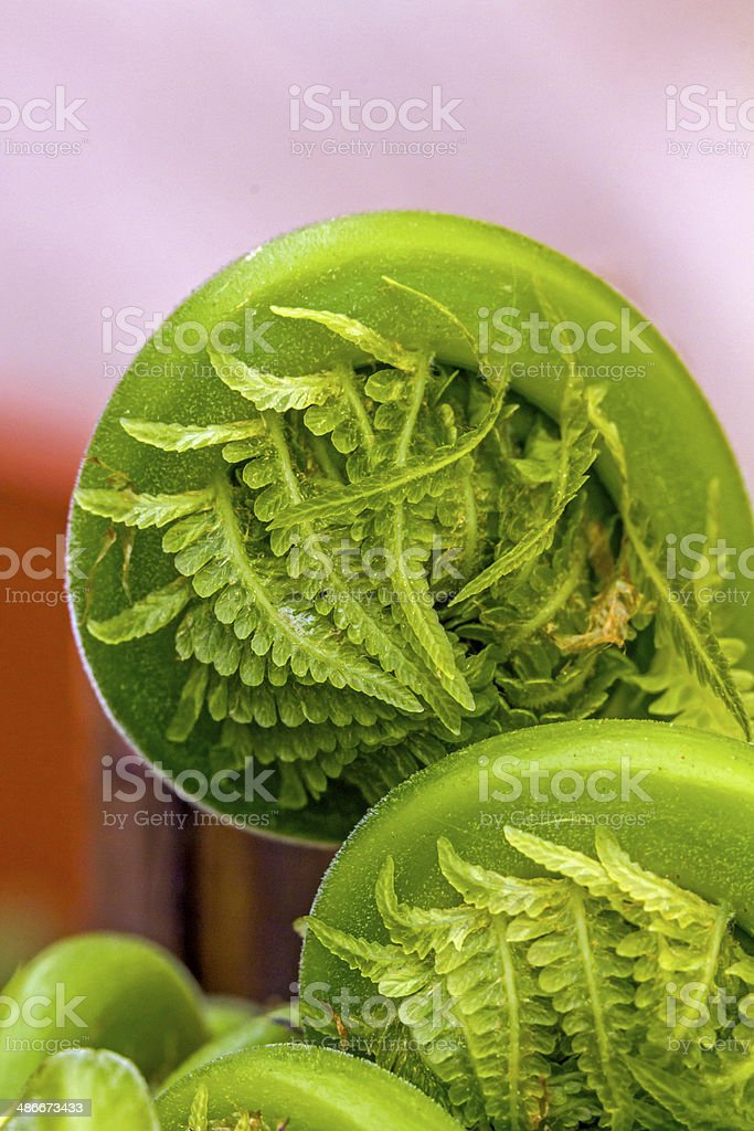 young fern unrolling stock photo