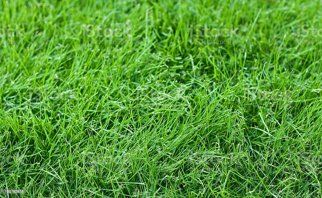 Young Fescue Grass stock photo