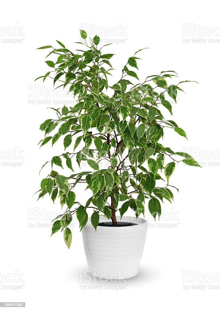 young Ficus benjamina a potted plant isolated over white stock photo