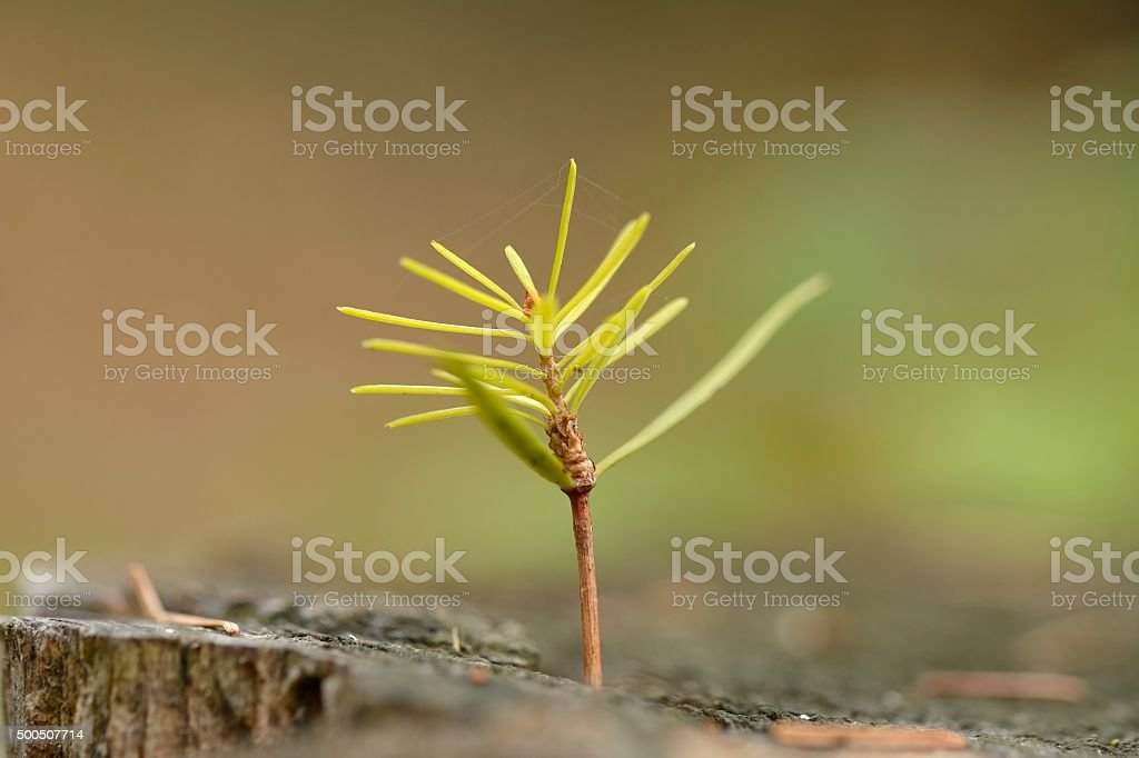 Young fir trees stock photo