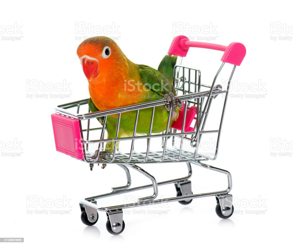young fischeri lovebird in trolley stock photo