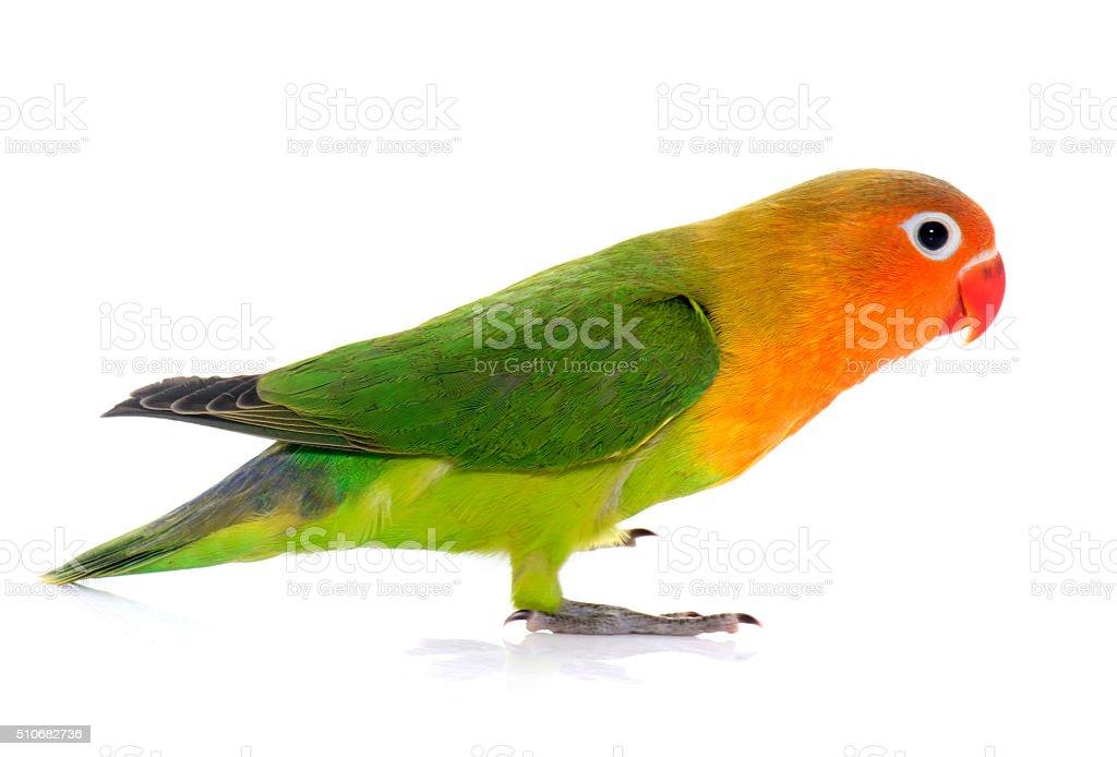 young fischeri lovebird stock photo