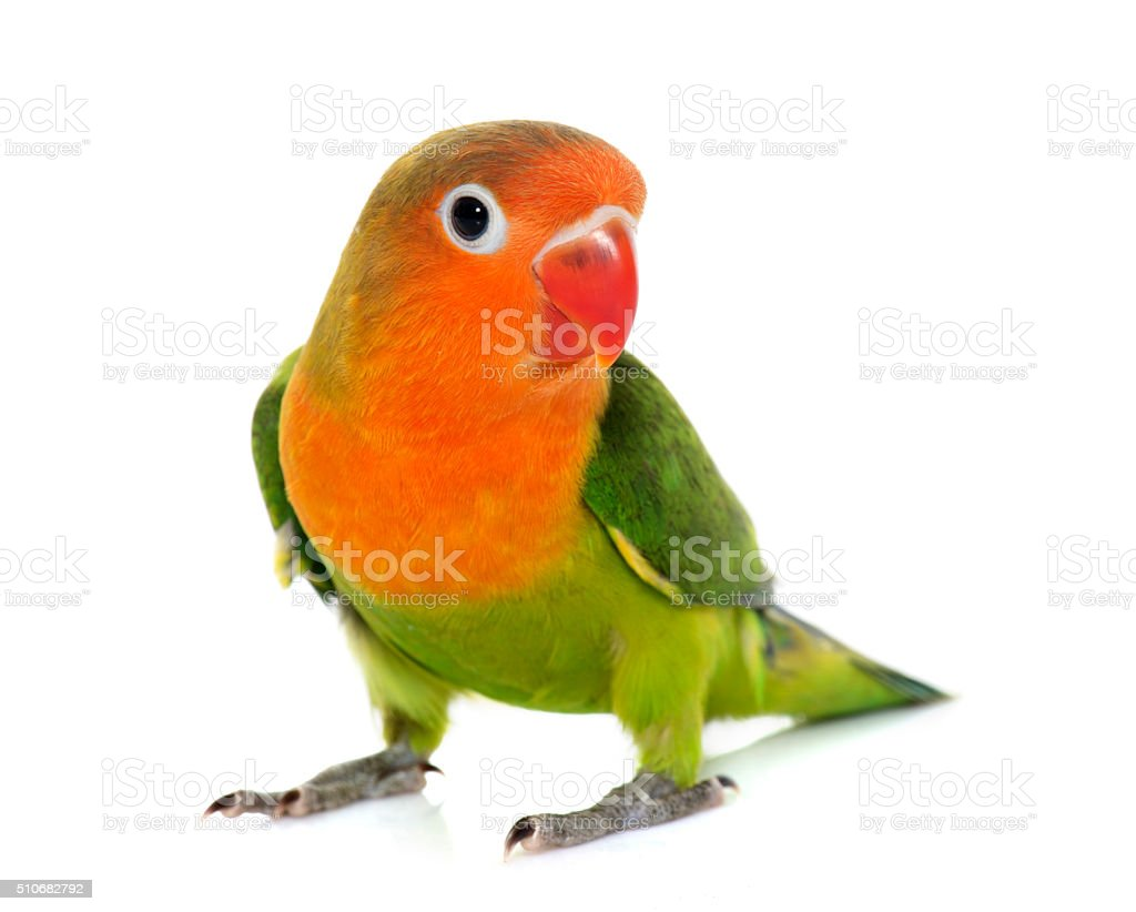 young fischeri lovebird stock photo