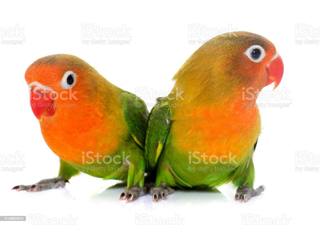 young fischeri lovebirds stock photo