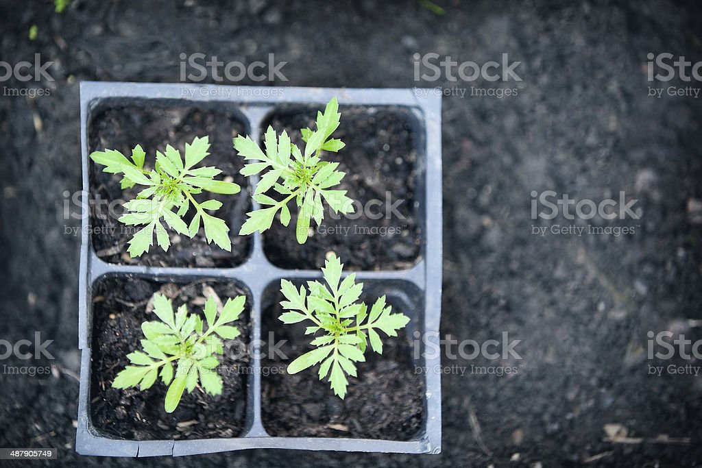 Young Flower Seedlings stock photo