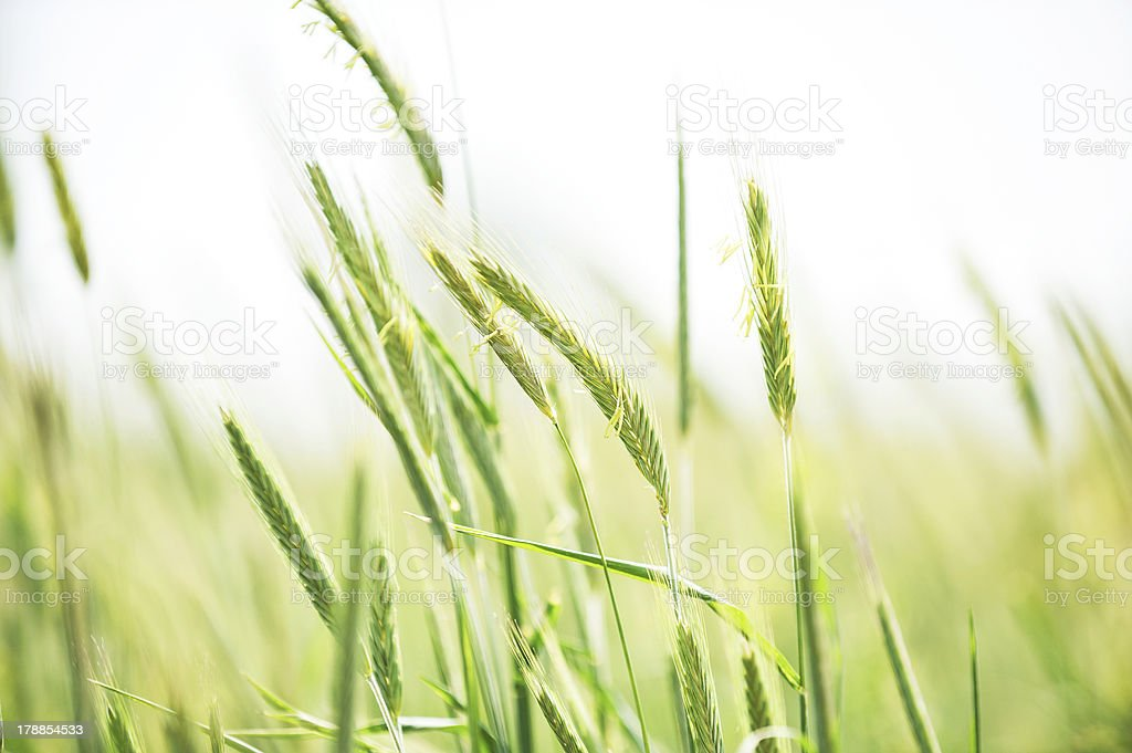 Young flowering spikes of barley close-up royalty-free stock photo