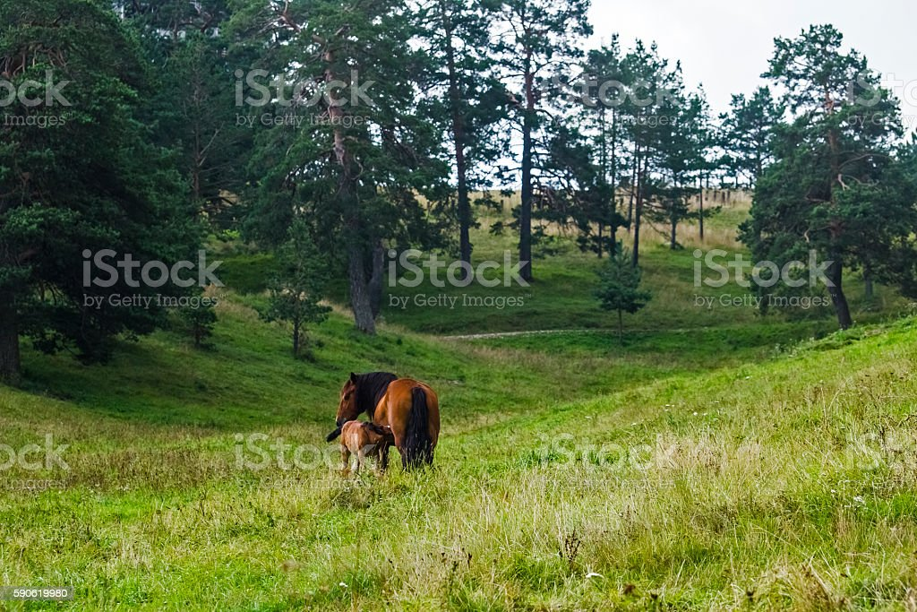 Young Foal and mother stock photo
