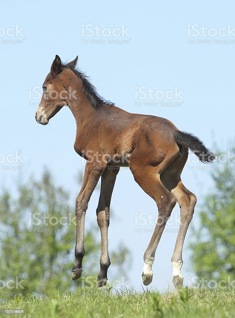 Young foal jumping mid-air outdoors stock photo
