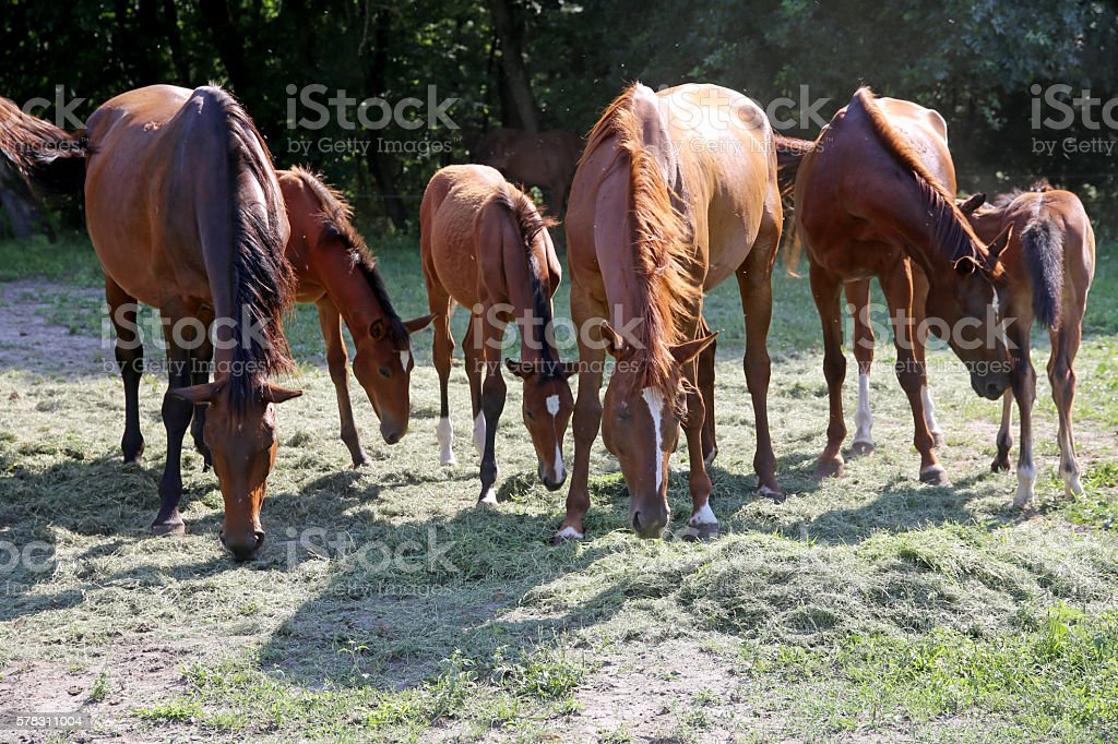 Young foals and mares grazing peaceful together on ranch stock photo