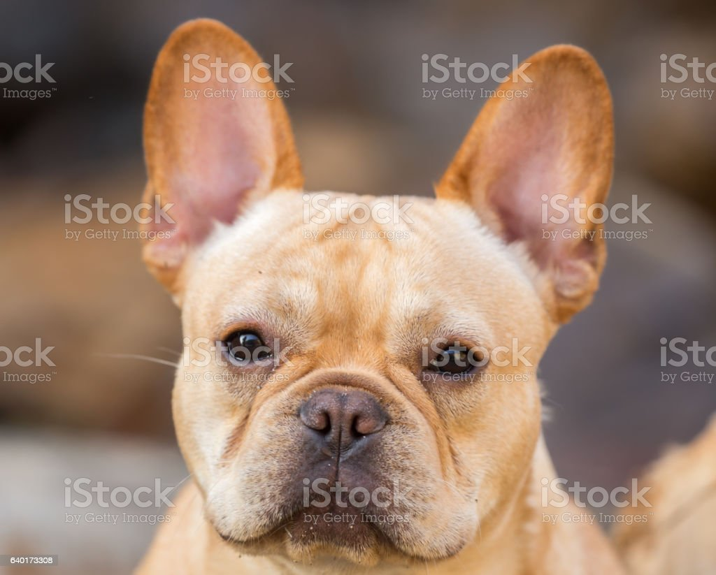 Young French Bulldog Headshot stock photo