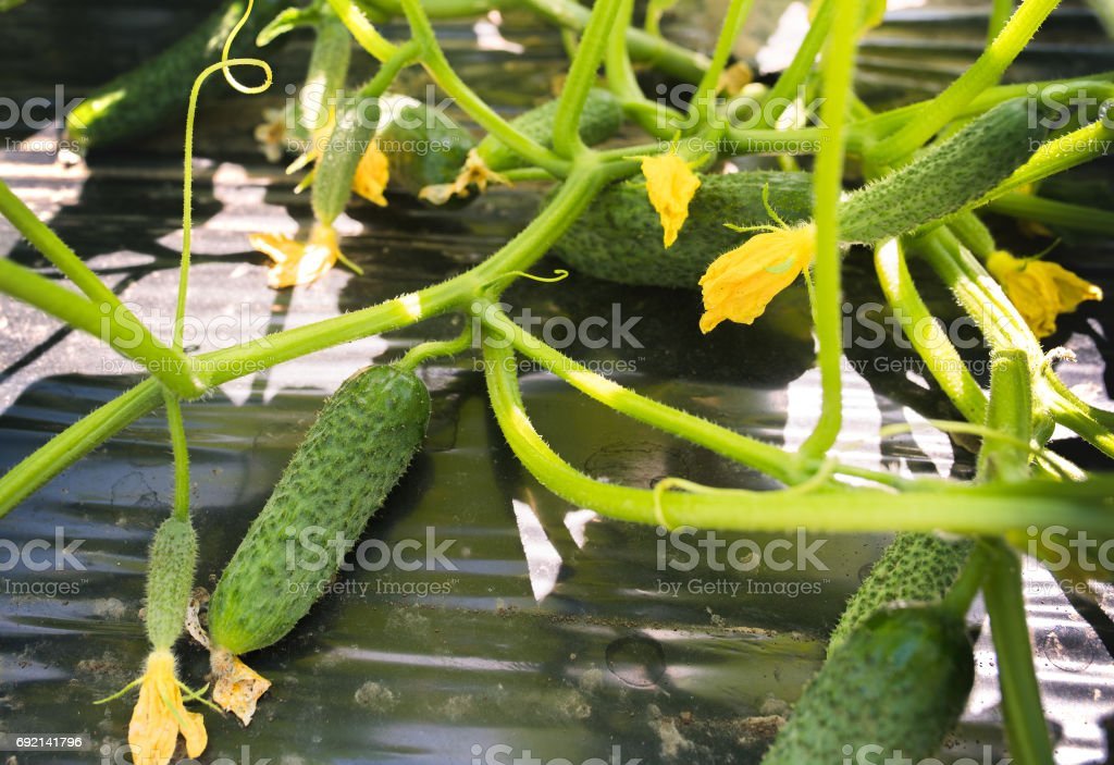 Young fresh cucumber plantation - cultivation of cucumbers in fields, growing organic vegetables stock photo