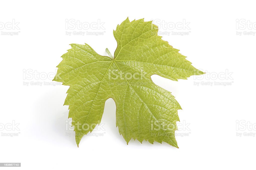 Young fresh grape leaf stock photo