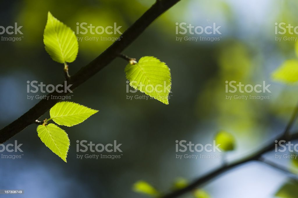 Young fresh leaves royalty-free stock photo