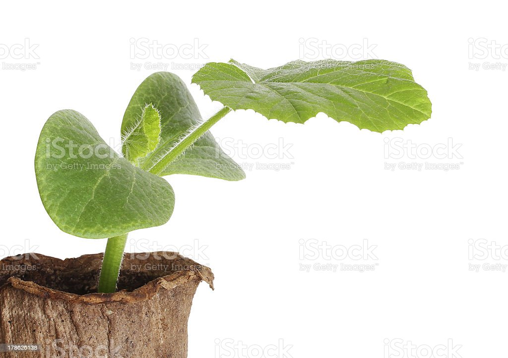 Young fresh seedling in peat pots isolated over white stock photo