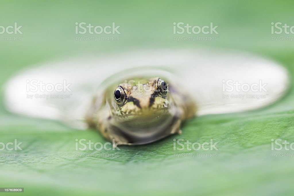young frog in drop royalty-free stock photo
