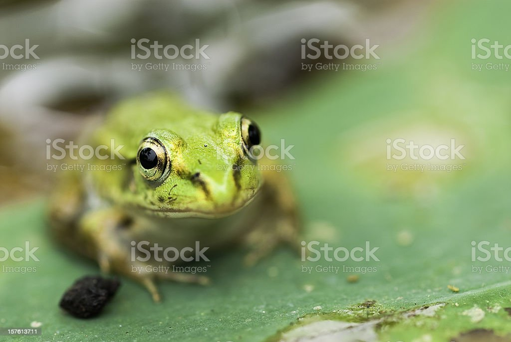 young frog stock photo