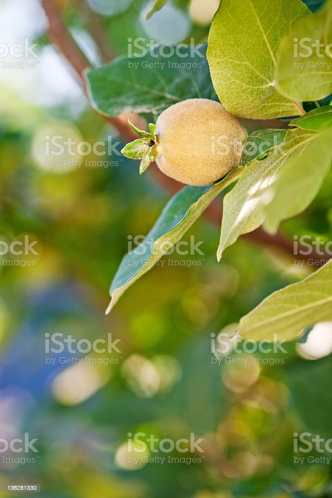 Young fruit on quince tree royalty-free stock photo