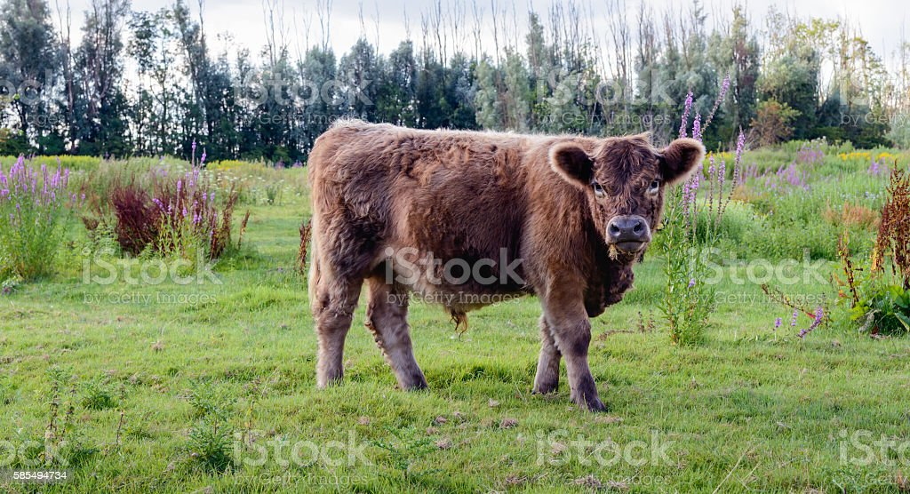 Young Galloway bull peacefully watching the photographer stock photo