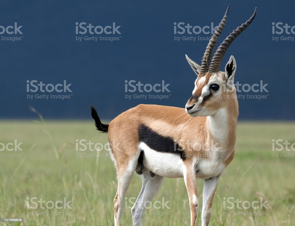 Young gazelle in profile stock photo