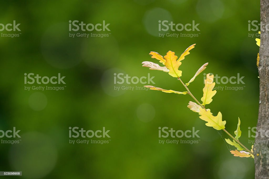 Young Germ of the Oak Growing on an Old Tree stock photo