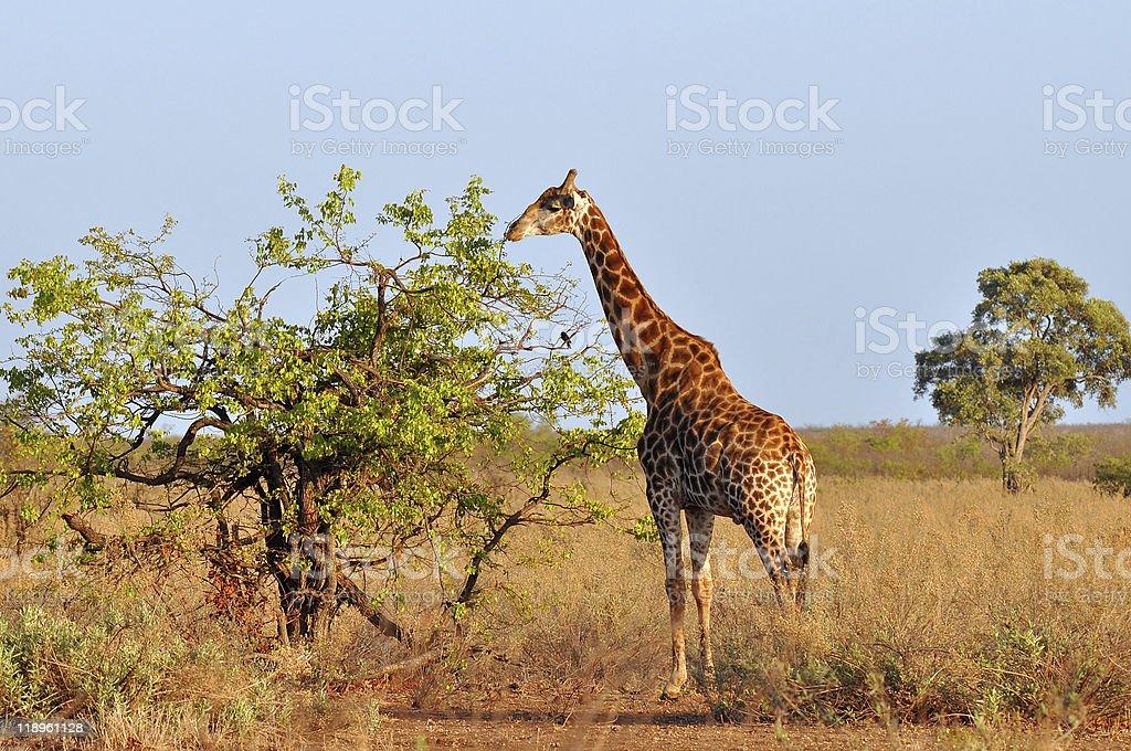 young giraffe in morning sunshine stock photo