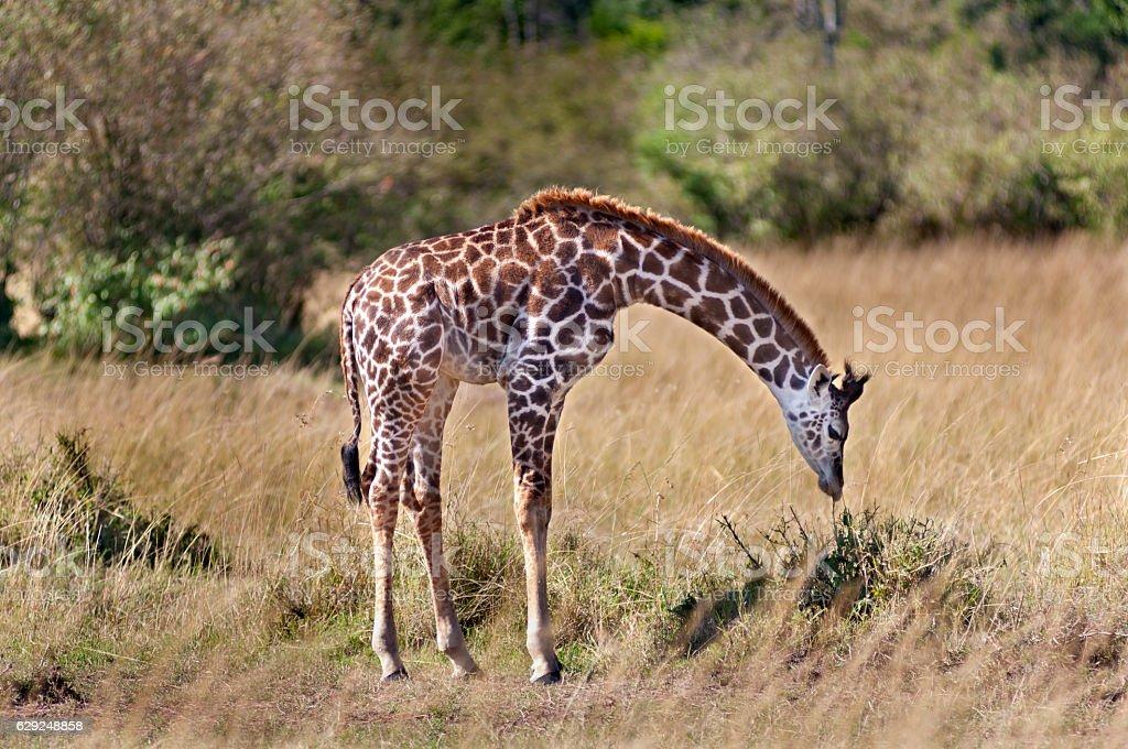 Young Giraffe Leaning Down stock photo