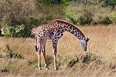 Young Giraffe Leaning Down