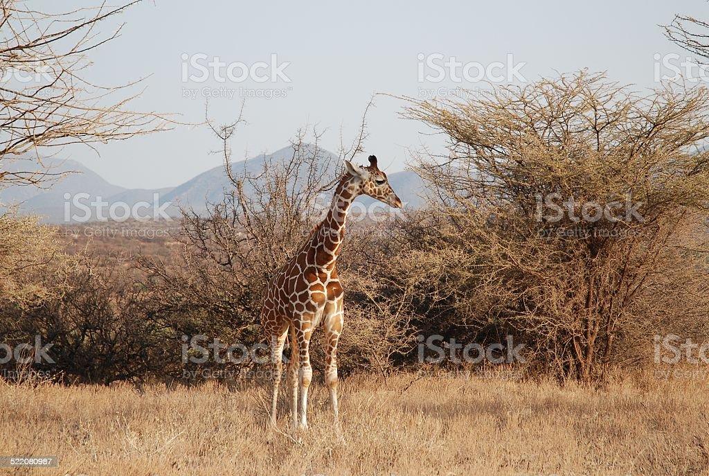 Young Giraffe royalty-free stock photo