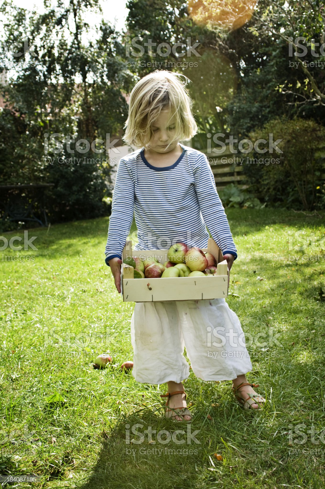Young Girl 5 Year's Old Picking Apples royalty-free stock photo