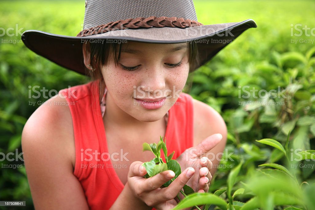 Young girl cups leaves in a green, growing tea field stock photo